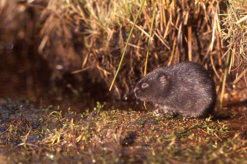 'Lonely heart' water voles crucial to population survival
