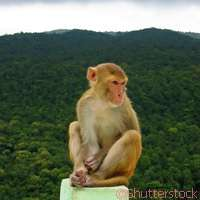 Looking out for the Myanmar snub-nosed monkey