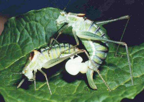 Male bushcrickets are in charge when it comes to sex