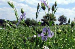 Lithuania's blue blooms gone as flax farming ends