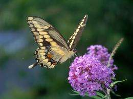 Massachusetts butterflies move north as climate warms