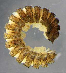Millipede family added to Australian fauna