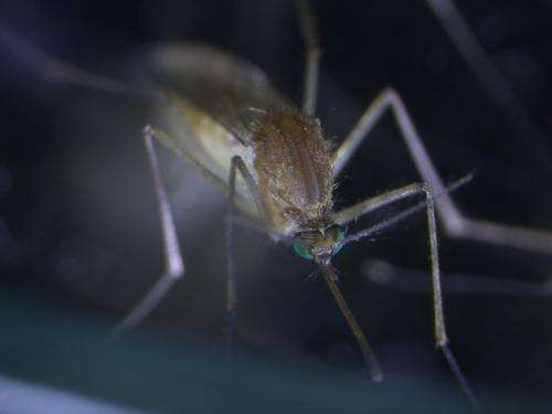 Mozzie protein alert to invading viruses