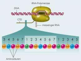 New details about gene regulation explained