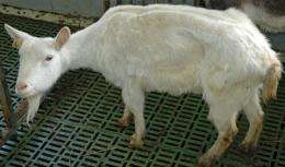 New findings on the diagnosis of paratuberculosis in goats