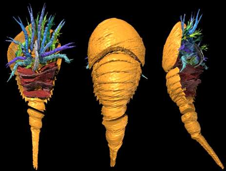 New fossil discovery offers clues to evolution of horseshoe crab