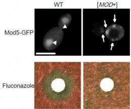 New yeast prion helps cells survive