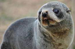 N.Zealand fur seals, generally considered docile, are found along Australia's southern coast and the coast of N.Zealand
