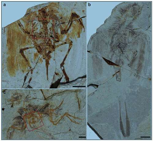 Ontogenetic studies indicating the sternum formed differently in enantiornithines and ornithuromorphs