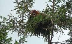 Orangutan nests reveal engineering expertise