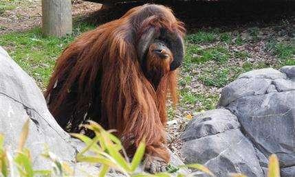 Orangutans sit still for heart ultrasound at zoo (AP)