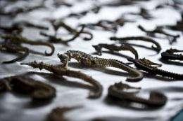 Peru's ecological police show seized seahorsesGY-SEAHORSES-SEIZURE