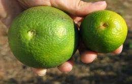 Plant pathologists put the squeeze on citrus disease