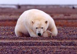 Polar bear evolution tracked climate change, new DNA study suggests