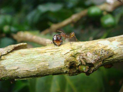 Predatory beetles eavesdrop on ants' chemical conversations to find best egg-laying sites