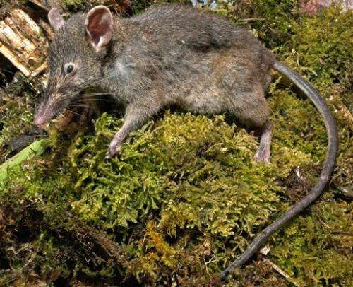 Rat that doesn't gnaw discovered in Indonesia