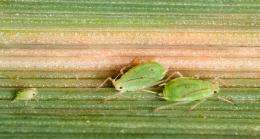 Reducing insecticide use by identifying disease-Carrying aphids