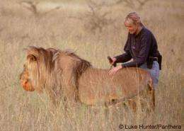 Report: Captive lion reintroduction programs in Africa operate under 'conservation myth'