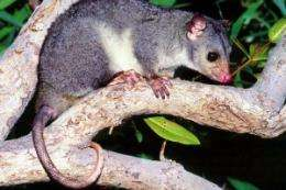 Scaly-tailed possum re-discovered in Kimberley