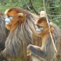 Scientist investigates human links to endangered Chinese monkeys