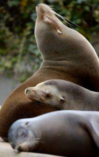 Sea lions are known to be able to dive some 300 metres without getting the 'bends'