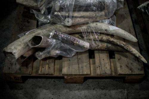 Seized pieces of unpolished tusks are displayed during a press conference by customs officials in Hong Kong