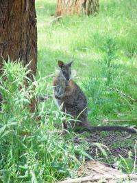 Selective imprinting: How the wallaby controls growth of its young