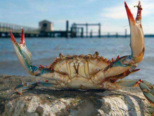 Sesearchers unravel life cycle of blue-crab parasite
