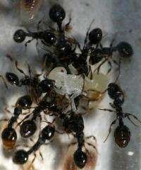 Slave rebellion widespread in ants