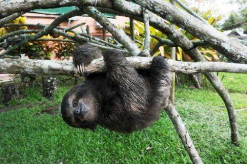 Sloths sleep 18 hours a day and eat little, as they do not burn a lot of energy.
