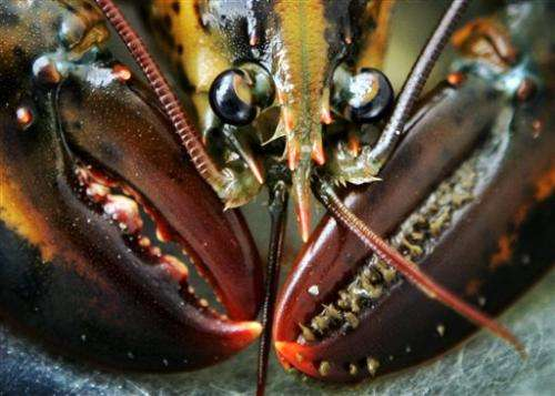 Study: Like a tree, growth rings show lobster age
