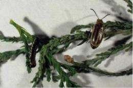 Tamarisk biocontrol efforts get evolutionary boost