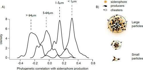 Microbial Munificence: Iron acquisition strategies in natural bacterioplankton populations
