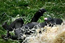 The gorilla Tatu as a baby