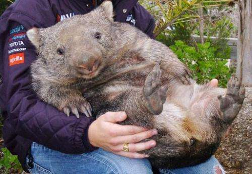 「wombat」的圖片搜尋結果
