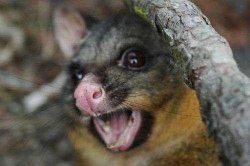 Possum pest feeds thriving N  Zealand fur industry