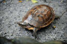 "The pond turtle has been listed as ""critically endangered"" and ""one of the rarest and least known turtles in the world"""