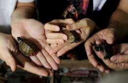 Three of the rare turtles - the critically endangered Siebenrockiella Leytensis pond turtle -at Manila airport