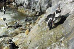 Tokyo Zoo officials are hunting for a penguin that escaped by climbing a sheer rock face