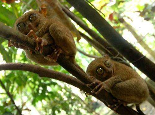 Two tarsiers cling onto trees in a wildlife sanctuary in the central Philippine island of Bohol in 2006