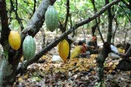 View of cocoa pods in Mecicilandia