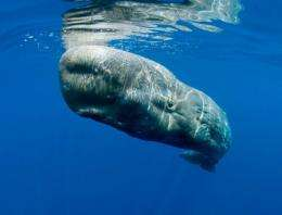Whales' signals reveal retreat from ill-fated oil rig