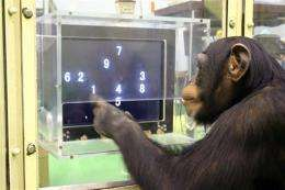 What was he thinking? Study turns to ape intellect