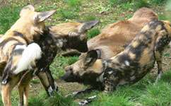 Wild dogs didn't go extinct in east Africa after all