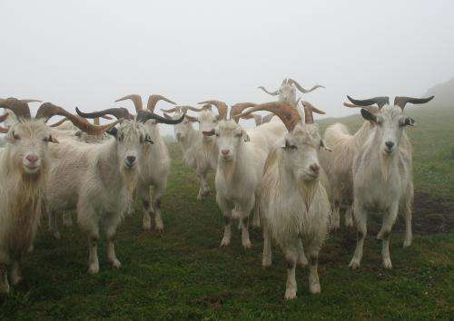 The global gene pool of the goat seriously under threat