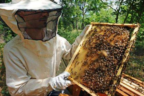A beekeeper looks at one of his hive in Colomiers, southwestern France, on June 1, 2012