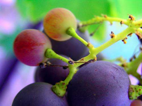 Active component of grape seed extract effective against cancer cells