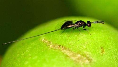 Ancient 'fig wasp' lived tens of millions of years before figs