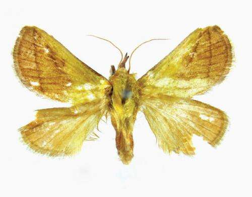 A new species of yellow slug moth from China