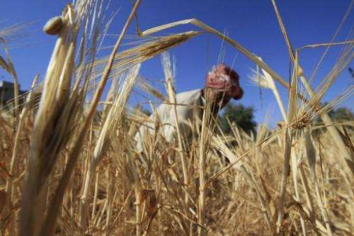 A Palestinian farmer collects wheat outside the Rafah refugee camp in the southern Gaza Strip on April 20, 2013